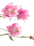 Delicate pink Aquilegia Royalty Free Stock Image