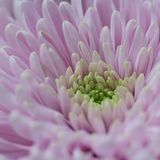 Delicate pink aster, macro. Floral background with beautiful delicate pink aster stock image