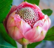 Delicate Pink Bud Waratah Flower. Delicate Pink Waratah flower bud, large but yet so delicate at the Waratah Festival in Blue Mountains, Mount Tomah Botanic stock images