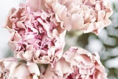 Delicate pink carnation flowers on a light background. Soft focus. Delicate pink carnation flowers on a light background stock photo