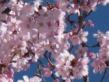 Delicate pink cherry blossoms. Rosaceae Prunus against a deep blue sky stock images