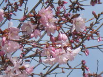Delicate pink cherry blossoms. Rosaceae Prunus against a deep blue sky stock photography