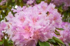 Delicate Pink clusters of Rhododendron Flowers. Called Roseum Elegans in Latin - at the Rhododendron Garden in Blackheath, New South Wales, Australia Royalty Free Stock Photos