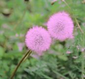 Delicate pink dandelions clung to each other stock image
