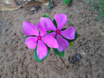 Delicate pink field flower. Nbeautiful flower Royalty Free Stock Photography