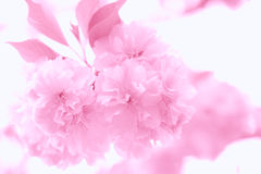 Delicate pink floral background. Very soft, ethereal floral background in monochrome pink tones. Selective focus with considerable blur. Over-exposed to achieve Royalty Free Stock Photo