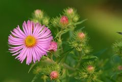 Delicate pink flower. In full Bloom in the garden royalty free stock photos
