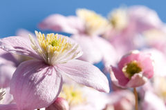 Delicate pink flower of clematis on background of bright blue sk Stock Photo
