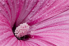 Delicate pink flower covered with morning dew. Royalty Free Stock Images