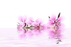 Delicate pink flower in water Royalty Free Stock Images