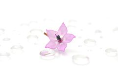 Delicate Pink Flower on Water Drops. A close-up of a delicate pink flower with water drops Royalty Free Stock Photos