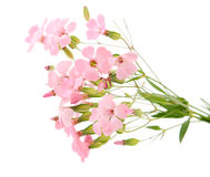 Delicate pink flowers Stock Photos
