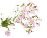 Delicate pink flowers. On a white background stock image