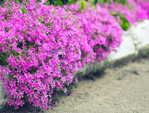 Delicate pink flowers along the curbs on the lawn Royalty Free Stock Photo