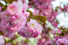 Pink blossomed sakura flowers with blur. Delicate pink flowers blossomed Japanese cherry trees on blury background Stock Photos