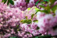 Sakura flower blossom in springtime. Delicate pink flowers blossomed Japanese cherry trees on blury background Royalty Free Stock Image