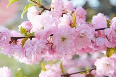 Delicate pink flowers of blossoming Japanese cherry in the spring garden. Blossoming sakura. Tree stock image