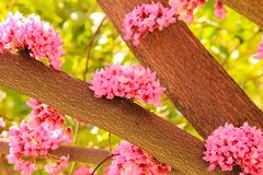 Delicate pink flowers of Cercis tree blossoms in the garden. In spring stock image