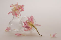 Delicate pink flowers in a clear glass dish with ragged petals on a delicate little pink background, empty space for text. Royalty Free Stock Photo