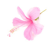 Delicate pink hibiscus flower is isolated on white Stock Photography