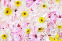 Delicate pink hyacinth and daffodils blooming spring flowers royalty free stock image