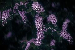 Delicate pink inflorescences bird cherry flower branch Prunus padus on a blurry dark background. Copy space. Spring nature. Soft royalty free stock photography