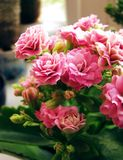 Delicate pink flower kalanchoe on windowsill stock photography