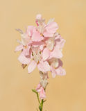 Delicate pink Larkspur Stock Image