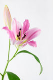Delicate pink lily and bud Stock Images