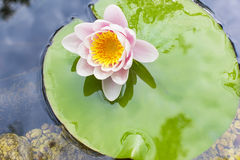Delicate pink lotus Royalty Free Stock Image