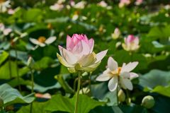 Delicate pink lotus flower rises above a lot of green leaves and lotuses. Sunny day. Great concept for any subject stock photo