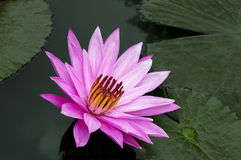 Delicate Pink Lotus. Nimphaea. Samosir Island North Sumatra, Indonesia Stock Image