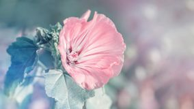 Delicate pink mallow flower on a beautiful background. Spring theme. Copy space.  royalty free stock photos
