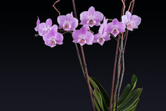 Delicate pink orchid on black background Royalty Free Stock Image
