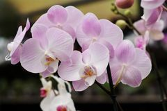 Delicate pink orchid flowers Stock Images