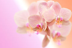 Delicate pink orchid flowers on blurred gradient Stock Image