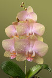 Delicate pink orchid flowers Royalty Free Stock Photos