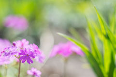 Delicate pink primrose flowers in the open air. Beautiful background with a gentle tonality. Selective focus. Stock Photo