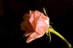 Delicate pink rose. Tender pink rose on black background Stock Photos