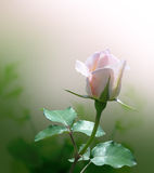 Delicate pink rose. Beautiful flower Stock Image