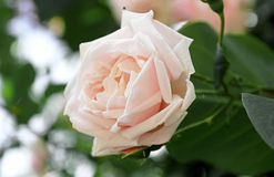Delicate pink rose on the bush Stock Photos
