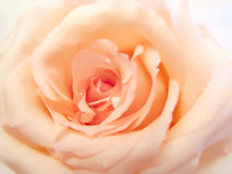 Delicate pink rose Royalty Free Stock Photos
