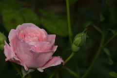 Delicate pink rose close up. Delicate pink rose on a blurred green background royalty free stock photography