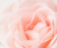 Delicate Pink Rose Royalty Free Stock Image