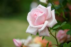 Delicate pink rose. In the garden Royalty Free Stock Photo