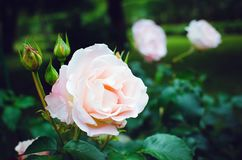 Delicate pink rose among green leaves in the garden. Beautiful summer background royalty free stock images