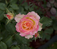 The delicate pink rose head Royalty Free Stock Photos