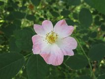 Delicate Pink Rose Hips. Delicate pink petals of wild rose flowers on a branch with green leaves stock photo