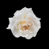 Delicate pink rose Stock Images