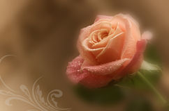 delicate pink rose Royalty Free Stock Photography